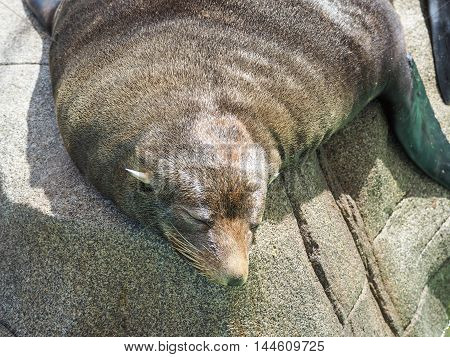 Close-up Portrait Of Fur Seal, Arctocephalus Forsteri