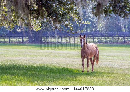 Young horse standing to the right in a southern pasture with Live Oaks and Spanish moss.