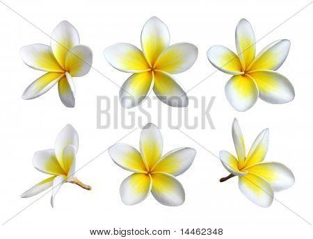 Set of six frangipanis flowers on white background