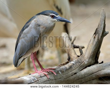 A White-crowned night heron perching on the log waiting to fishing in the pond beautiful grey bird