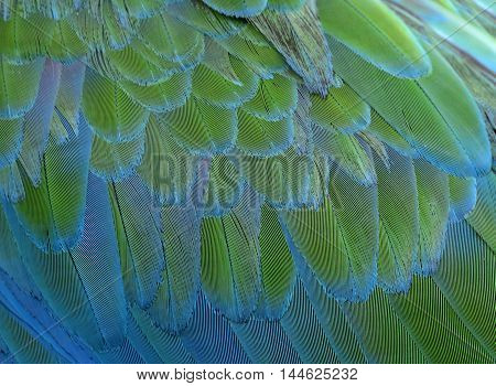 Exotic fine green and blue background of bird feathers the fascinated Buffon's Macaw bird's wing texture