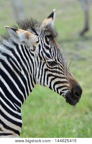 Head of zebra foal with camouflage look the lovely animal