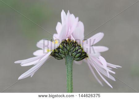 Fasciation of pink camomile flower. Summer. Flora. Nature.