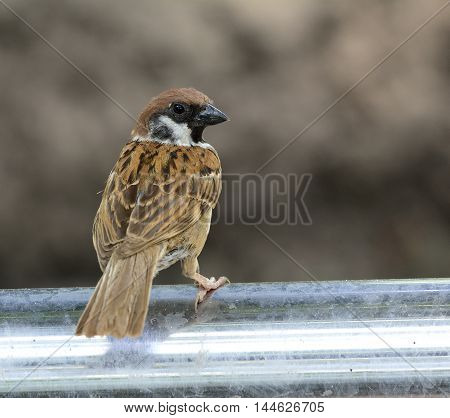 The house sparrow (Passer domesticus) standing on the silver metal fence showing its back feathers lovely bird
