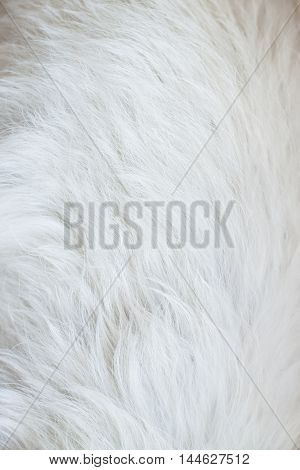 Texture white animal fur. Cozy background and place for text. It can be used as a concept of allergy to animal hair.