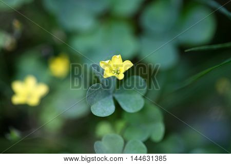 Flower of a common yellow woodsorrel (Oxalis stricta)