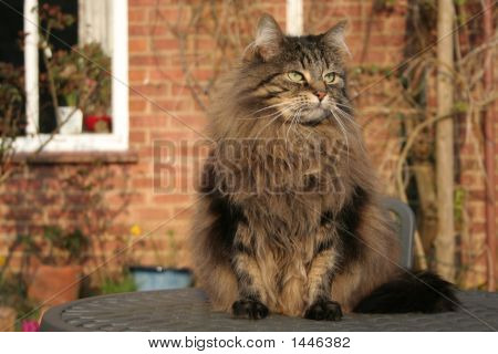 Tia cat with a big mane (Norwegian forest cat) on a garden table. Looking into the distance. poster