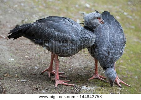 Southern screamer (Chauna torquata), also known as the crested screamer. Wildlife bird.