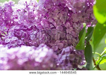 close-up of lilac flower in a tree