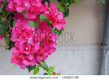 Bougainvillea flower purple bougainvillea on an evening (Bougainvillea glabra Choisy)