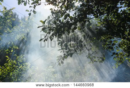 Sun's rays penetrate through the trees and fog