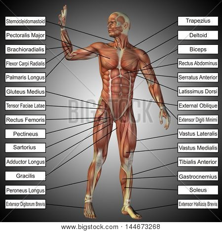 Concept or conceptual 3D illustration of a male or human anatomy, a man with muscles and text on gray gradient background  poster