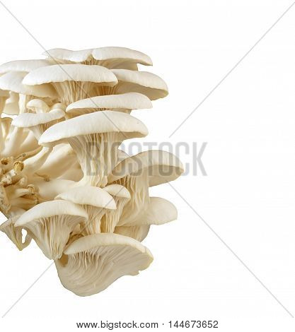 Closeup Of Fresh Oyster Mushrooms