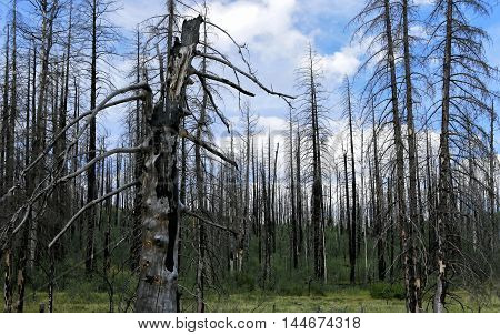 Forest of burnt trees Landscape of forest after fire with blue sky on background.
