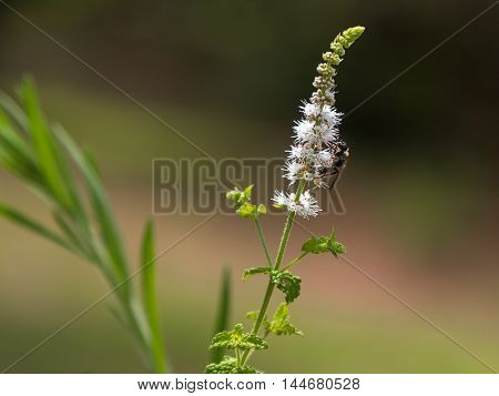 Black Cohosh: White Efflorescence and Bee -Nature