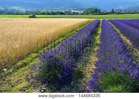 Stunning landscape with wheat and lavender field. Plateau of Sault Provence France