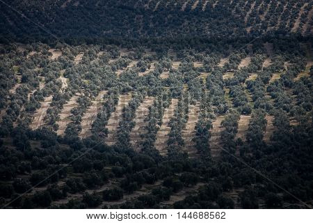Andalusia Spain vast expanses of olive trees in the valley opposite the town of Ubeda
