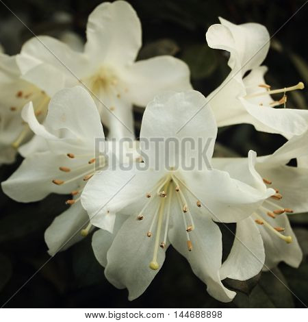 Branch Of White Rhododendron. Flowering Bush.