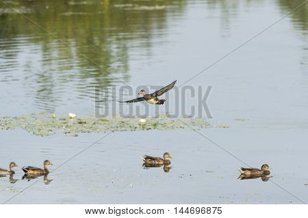 Male Wood Duck glides over mallards during short flight
