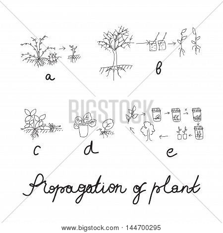 Plant vegetative reproduction or propagation - hand drawing scheme. Vector illustration for biologist, greenhouse worker, sciense design.