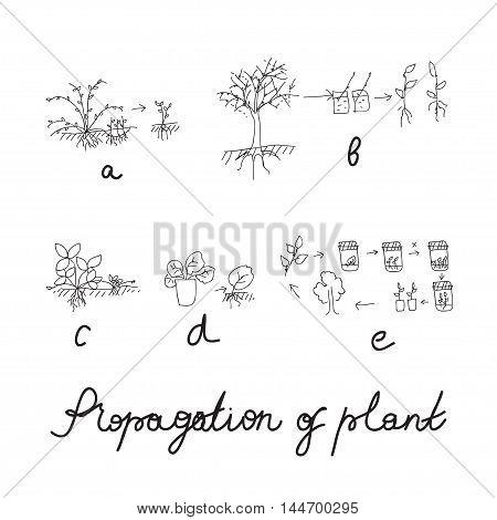 Plant vegetative reproduction or propagation - hand drawing scheme. Vector illustration for biologist, greenhouse worker, sciense design. poster