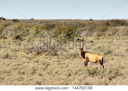 The Red Hartebeest - Beaufort West