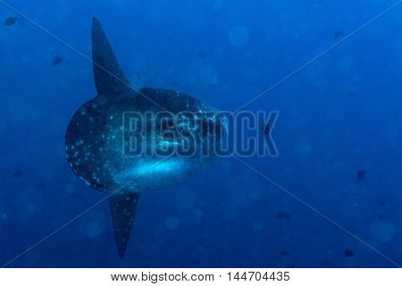 Sunfish Mola Mola Fish Underwater Portrait Close Up