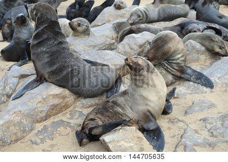 Wild Cape Fur Seals Colony, Namibia