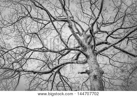 Black and white photo of dead tree in winter at Thailand.