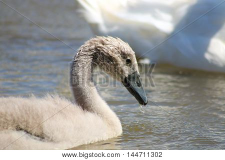 A young Mute Swan cygnet sticking close to it's parent