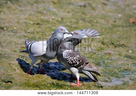 A pair of feral pigeons having a fight