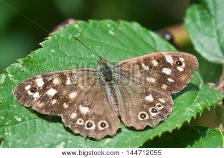 pararge aegeria or speckled wood butterfly basking in summer sunshine poster