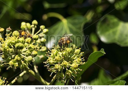 A bee sitting on the blossom of a ivy
