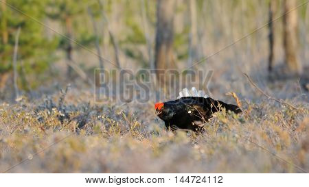 Male Black Grouse (Tetrao tetrix) at swamp courting place early in the morning. National park Plesheevo Lake Yaroslavl region Russia