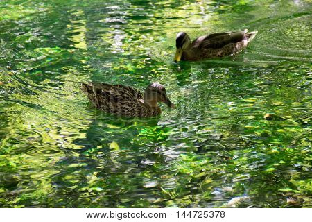 Two ducks swimming in clear water on Sourge river Provence France