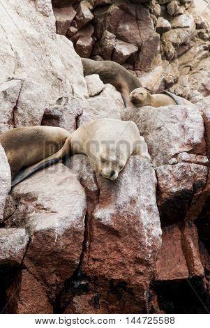 Colony Of South American Sea Lion - Ballestas Island