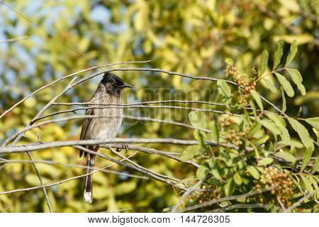 Red-vented Bulbul in between branches of a tree in a farm in Bahrain