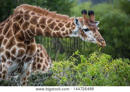Giraffe with long neck snacking on green leaves