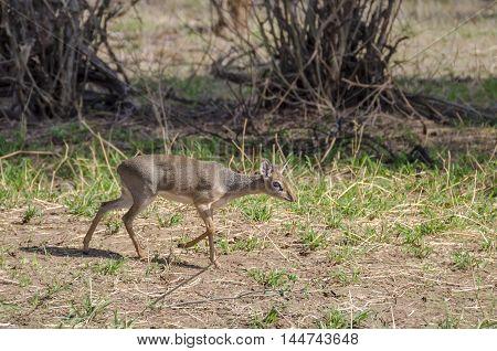 Kirk's Dik-dik (Madoqua kirki) - delicate-looking antelope in Serengeti Tanzania