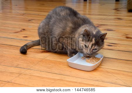 portrait of domestic tortoiseshell tabby cat eating food from a bowl