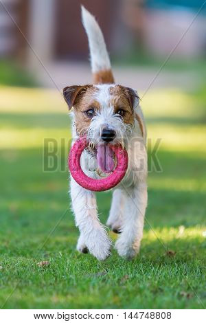 Parson Russell Terrier Retrieves A Toy