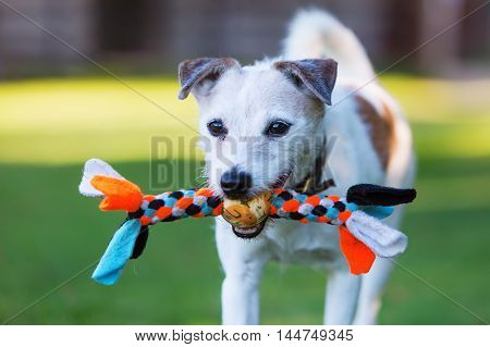 outdoor portrait of a Parson Russell Terrier with a toy in the snout