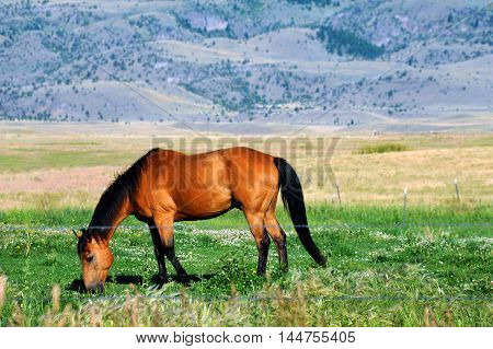Horse grazes in Paradise Valley in Montana. Foothills of the Gallatin Mountain Range rises in background.