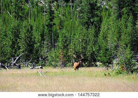 Bull elk warily smells air as he grazes in a field in Yellowstone National Park. He has a large rack of antlers still in velvet.