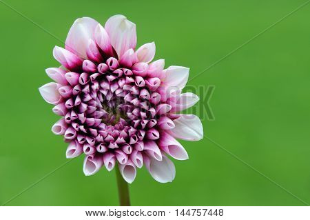Single long stem flower blooms in pink and burgundy. Garden background of bright green fills background.