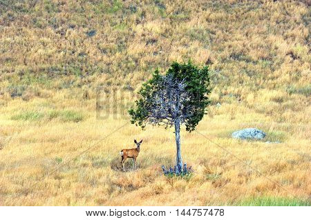 Young deer stands alone on a hillside in Happy Valley Wyoming. He shelters under one fir tree.