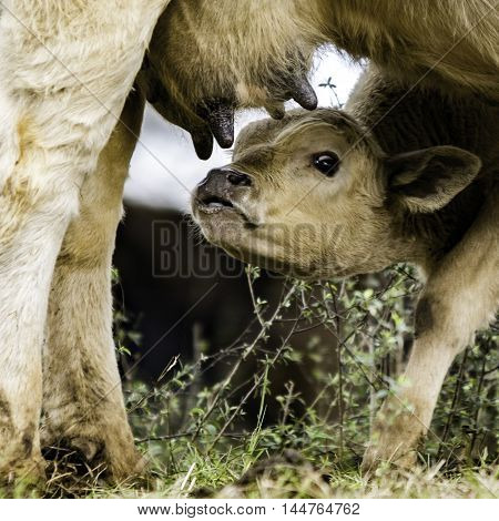 Crossbred commercial calf getting ready to nurse its mother