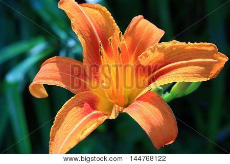 orange day lily flower blooming in summer garden