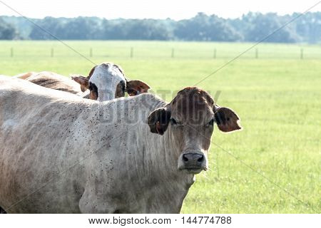 Two crossbred commercial brood cows to the left with pasture background