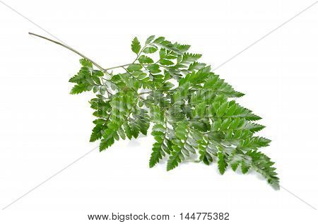 Leather Leaf Fern with stem on white background